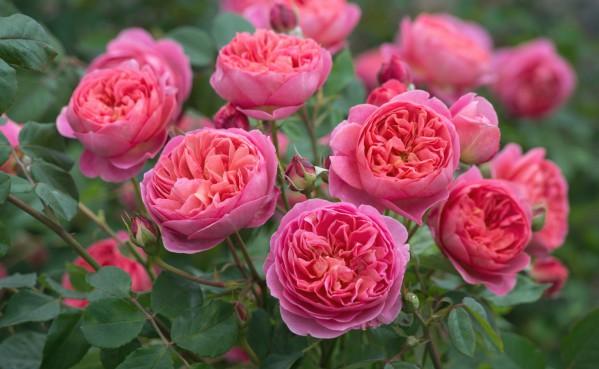Рекомендации по обрезке английских роз Остина