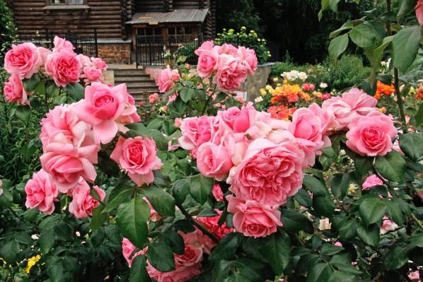 Весной необходимо бережно обрезать розы флорибунда