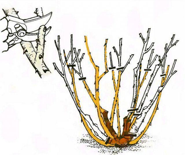 Схема обрезки кустовых роз