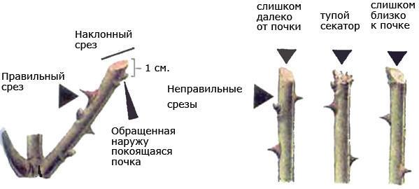 Проводить обрезку следует по определенной схеме