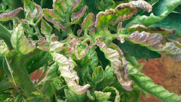 Как выращивать рассаду томатов в домашних условиях