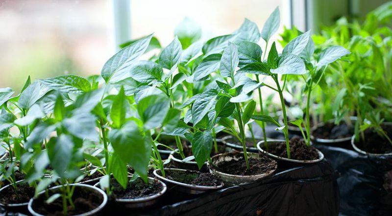 как сажать семена армерии на рассаду