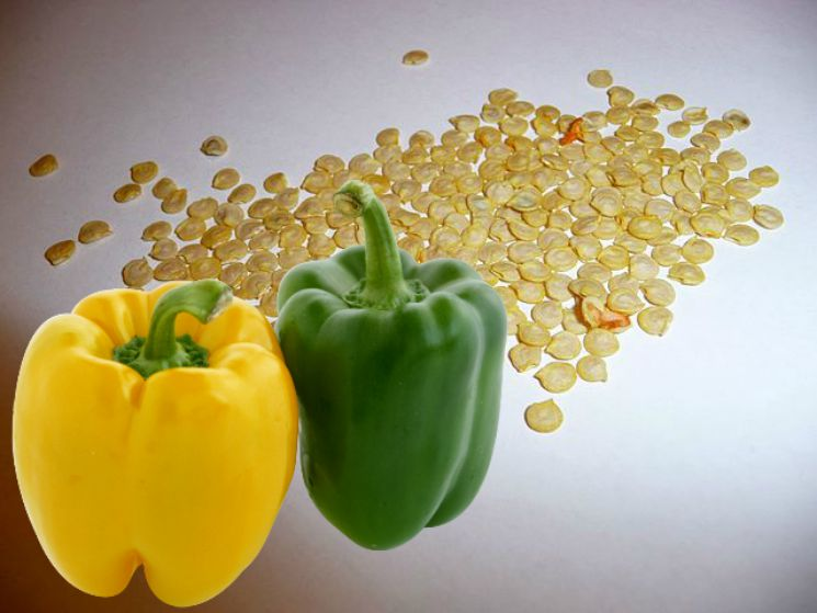 Как прорастить семена перца перед посадкой