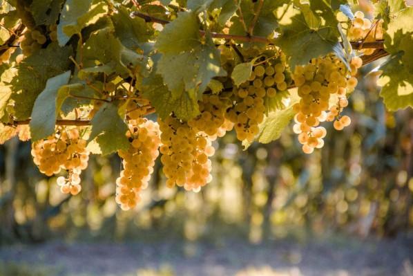 Подготовка почвы под посадку винограда весной