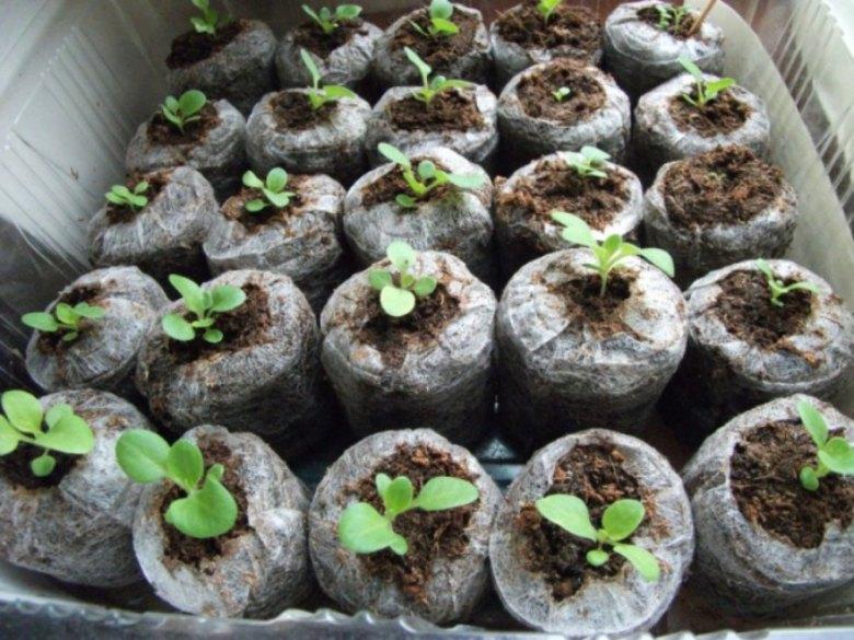 Выращиваем петунию из семян в торфяных таблетках