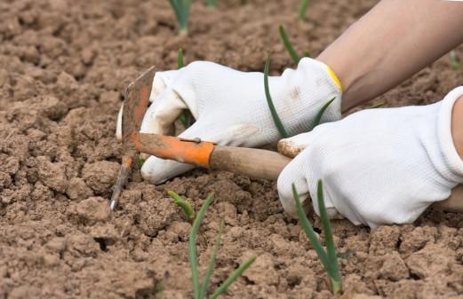 Лук севок посадка и уход в открытом грунте весной