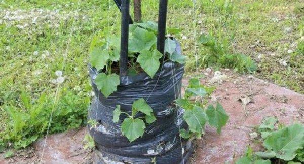 Температура почвы для посадки огурцов в открытый грунт