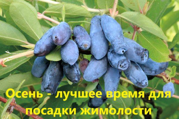 Можно ли выращивать жимолость в ростовской области?