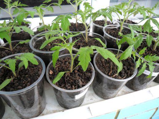 Рассада помидор без пикировки: как посадить и выращивать с видео
