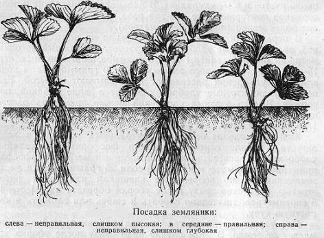 Как и когда рассаживать клубнику и для чего это нужно?