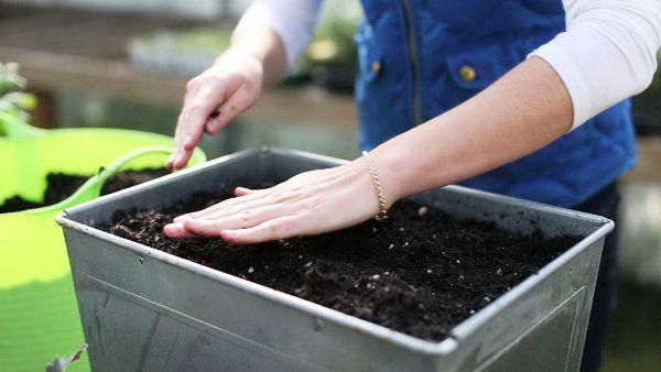 Эустома агротехника
