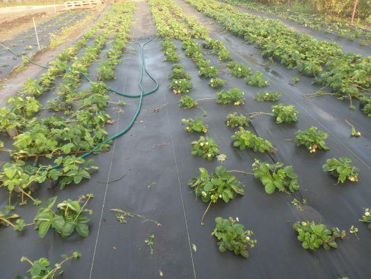Агроволокно применение для клубники