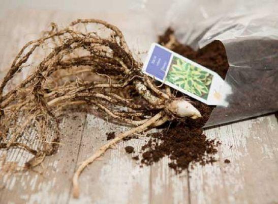 Хоста: посадка и уход в домашних условиях, как сохранить в горшке зимой, выращивание