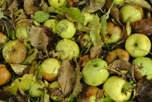 Уход за яблонями осенью в подмосковье