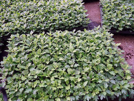 Хризантема многолетняя махровая выращивание из семян когда сажать