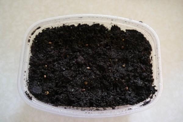Когда сеять бальзамины на рассаду