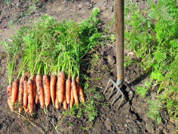 Когда убирать морковь и свеклу в Подмосковье и как хранить