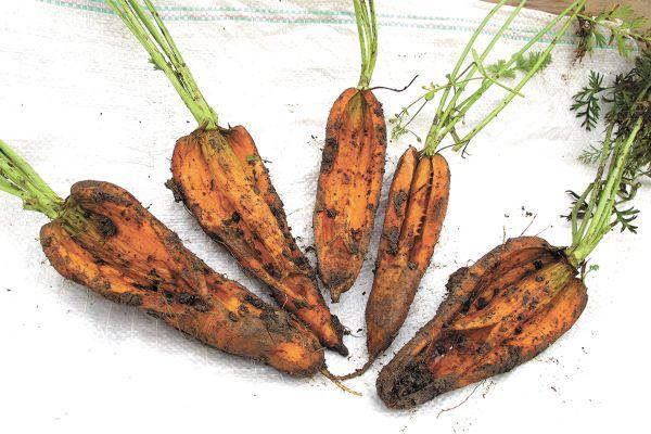 Как часто поливать морковь в открытом грунте после посадки?