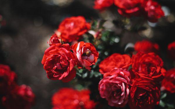Как правильно сажать розы осенью