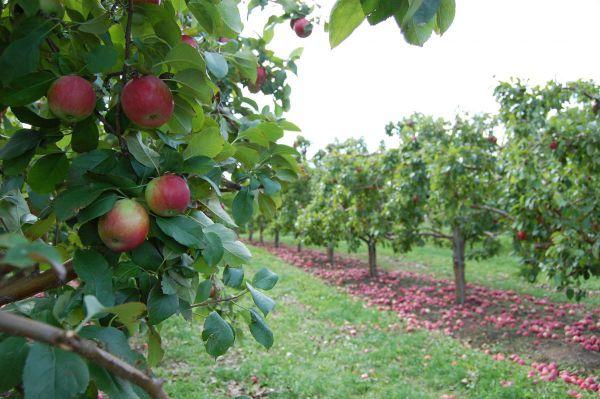 Яма для посадки яблони осенью