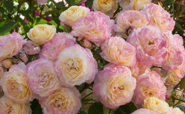 как высаживать саженцы роз осенью