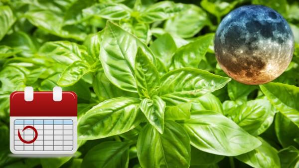 Как посеять базилик чтобы он хорошо взошел