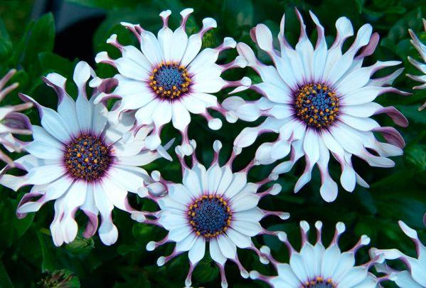 Остеоспермум- виды и сорта с фото, правила выращивания, ухода, размножения