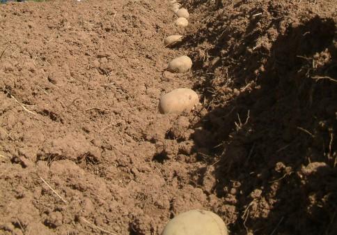 Особенности подготовки картофеля к посадке в открытый грунт