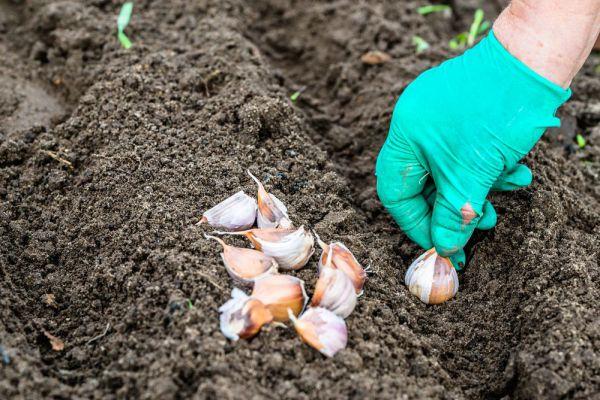 Подготовка земли под посадку чеснока осенью