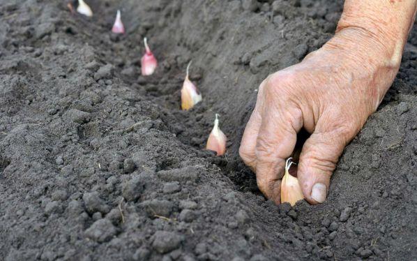 Овощная культура чеснок уход и посадка под зиму thumbnail