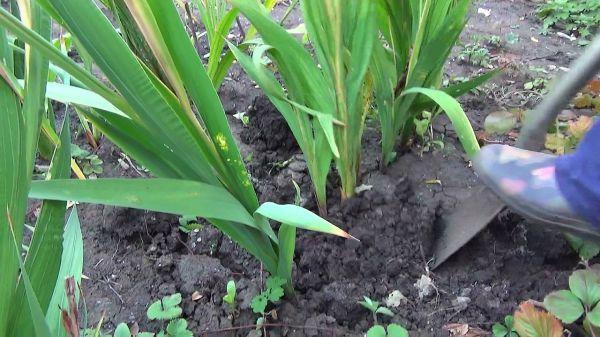 Выкопка гладиолусов осенью: как хранить, что делать после