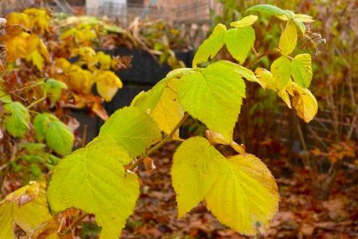 Обработка малины осенью на зиму