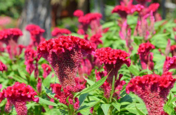 Высокие однолетние растения для сада